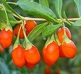 Farmerly December01 y 100 del Himalaya tibetano Goji Wolfberry Frutas Bush Semillas Lycium Barbabarum