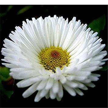farmerly 100seeds fiori in vaso gerbera chrysanthemum semi balcone bonsai impianto per il garden & home four seasons piantare facile da coltivare gerbera 17