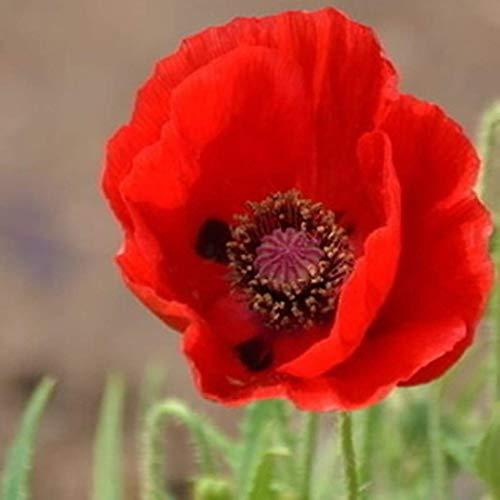 100pcs Mohnsamen Mischung Klatschmohn Rot/Blau/Weiß/Goldmohn/Gelb/Violett Türkischer Mohn Blumensamen winterhart mehrjährig für Beete und Gruppenpflanzung ()