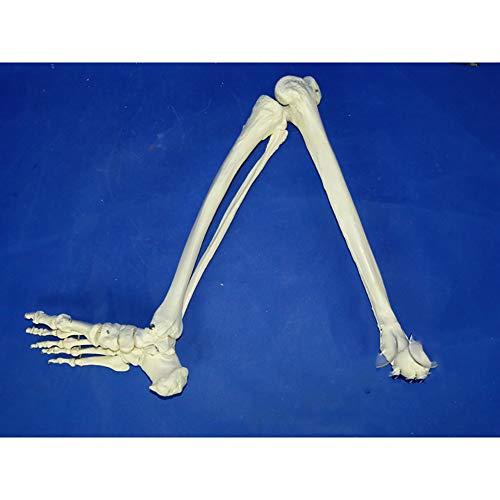 UIOF Modell Der Unteren Extremitäten Größe Menschliches Unteren Extremität Skeleton Modell Hüftgelenk Und Voll Beweglichem Fuß Medizinische Verwendung