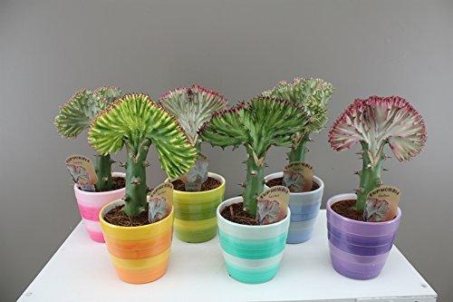 quirky-cactus-like-gift-dragon-bones-euphorbia-lactea-coral-cactus-colourful-and-unusual-present-int