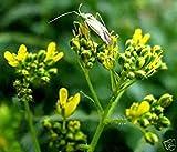 PlenTree Semillas orgánicas hierba pastel, astringente poderoso!