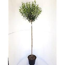 Lorbeer-Kirsche, Stämmchen: 170-180 cm, Prunus lusitanica Angustifolia, winterhart und immergrün + Dünger