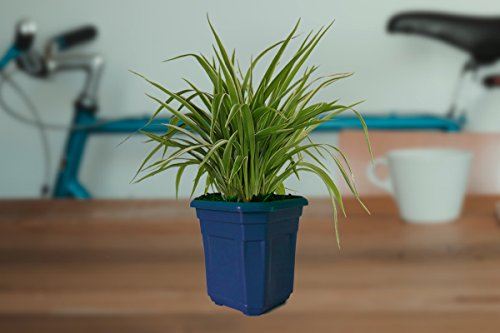 Rolling Nature Air Purifying Spider Plant in Blue Hexa Pot