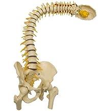 ruediger Anatomía Modelo a212.8columna vertebral, flexible