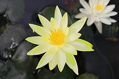 Wasserpflanzen Wolff - Nymphaea 'Colonel A. J. Welch' im Pflanzkorb - Seerose, gelb von Wasserpflanzen Wolff - Du und dein Garten
