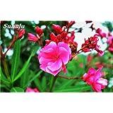 Phlox estrella del centelleo Semillas Semillas Drummondii Cuspidata Flor de interior Bonsai Semillas de flores para jardín Planta de tiesto 100 Pcs 8