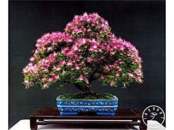 Hot Sale! 50 pièces / sac bonsaï graines Albizia fleur, appelé Mimosa Arbre soie, graines pour fleurs des plantes en pot, # BXZ8N7