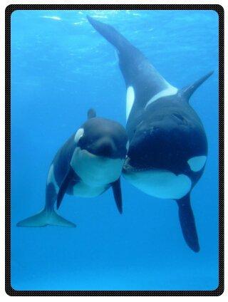 Fashion Design Blake Fleece Plüsch Decke Orca Killer Whales Wal Killer Whales Decke 147,3x 203,2cm (groß) -