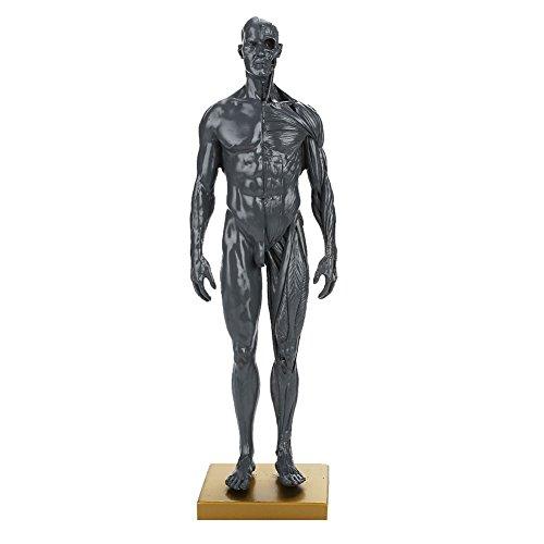 Haihuic 30 cm Menschlicher Körper Muskuloskelettales anatomisches Modell für Studium und Lehre Muskel- und Knochenmodell Grau