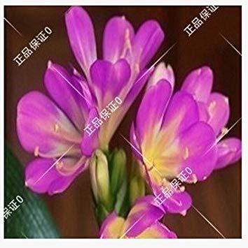 graines rares Clivia extérieur vivaces Bonsai Balcon fleurs en pot pour plantes ornementales Décor de jardin Facile à cultiver 100 pcs / sac 13
