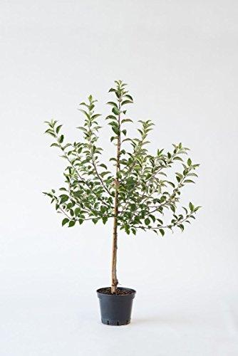 """Apfelbaum """"Jonagold"""" mit Erntegarantie, 25L Topf, 3-4 Jahre alt - Pfundskerl - Apfel - Buschbaum"""