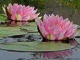 Portal Cool Gonnere Rosa Wasser-Lilien - Teichpflanzen Seerosen Wasserpflanzen