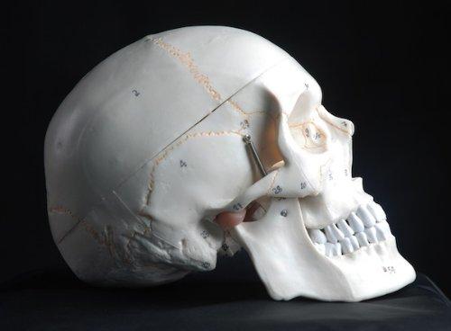 Zoom IMG-2 s24 2110 modello anatomico di