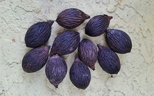 PLAT FIRM GERMINATIONSAMEN: Foxtail Palm Seeds 10 frische Samen gereinigt August 2017 getrocknet Wodyetia bifurcata