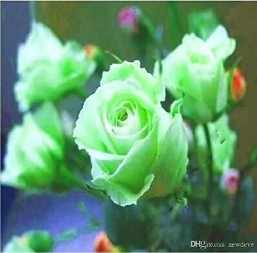 Beetrosen Parfum-Rose Blumensamen