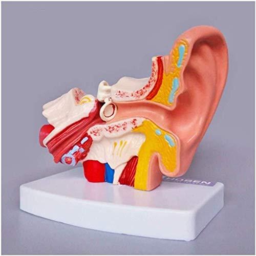 JN Menschliches Organmodell Menschliches Ohr Anatomische Struktur Menschliches Ohr Modell, Ohr-Kanal-Ohr-Außen Mittel- und Innenohr Auditory Otolaryngology Organ Lehre medizinische Ausbildung -