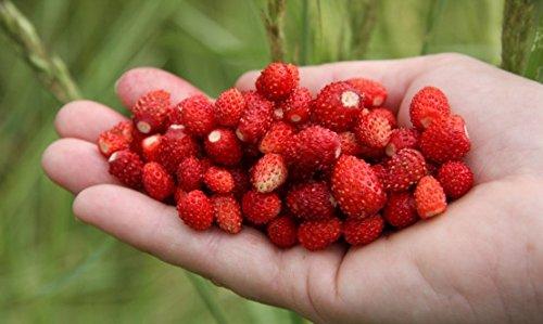 Hausgarten - Wilde Erdbeere