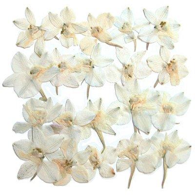 fleurs-pressees-delphinium-blanc-20-pieces-pour-lart-floral-lartisanat