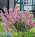 Zwerg Mandelbäumchen Fire Hill 40-60cm - Prunus tenella von Baumschule bei Du und dein Garten