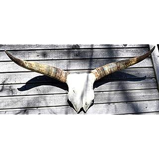 Ars-Bavaria EIN Original Bullenschädel, Stierkopf Longhorn Rinderschädel mit großen Hörnern eine echte Seltenheit