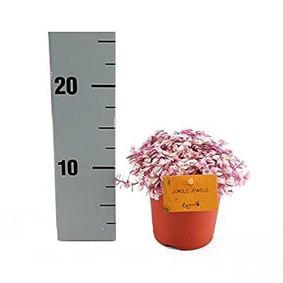 Callisia Rosato Pink Lady 11cm Topf von Exotenherz auf Du und dein Garten