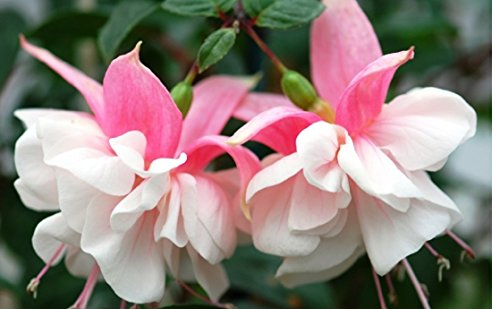 FUCHSIA PLANTS SONATA GIANT FLOWERED PLUGS (5)