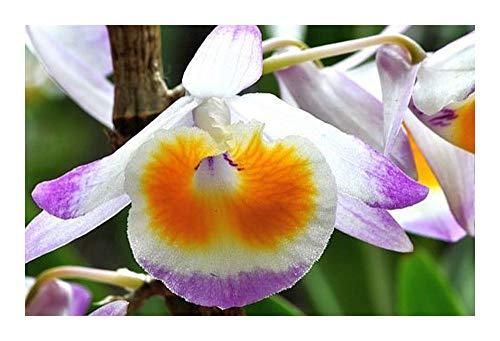Dendrobium gratiosissimum - orchidées - 100 graines