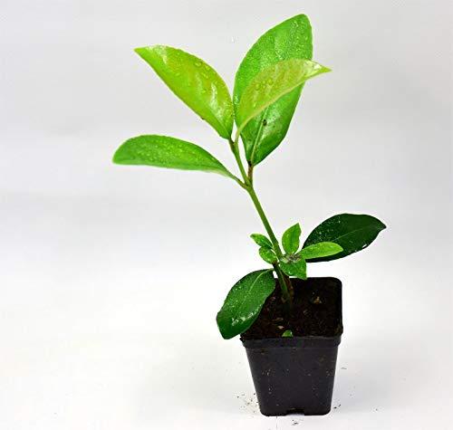 40 piante viburno lucido