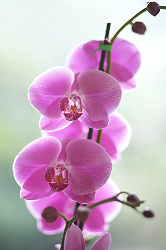The Poster Corp Kicka Witte/Design Pics - Hawaii Kauai Pink Orchids On Studio Background. Photo Print (55,88 x 86,36 cm) -