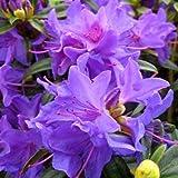 Pinkdose Nuovo arrivo! Bei 100% veri flores fiore di rododendro in vaso 24 varietà 100pcs / bag rare bonsai pianta da giardino: Giallo
