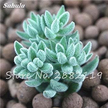 VISTARIC 100 Pcs Clematis Graines de plantes Belle Paillage Graines de fleurs Bonsai ou un pot de fleurs vivaces pour jardin Mix Couleurs 18