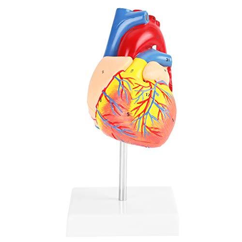 Akozon 1: 1 Anatómico Humano Tamaño humano Tamaño cardíaco Médico Cardiovascular 2 Partes para la clase de ciencias, Cardiología Anatomía Modelo de enseñanza
