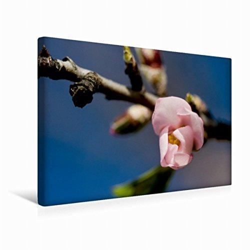 Preisvergleich Produktbild Premium Textil-Leinwand 45 cm x 30 cm quer Blüte einer Mandelbaum | Wandbild, Bild auf Keilrahmen, Fertigbild auf echter Leinwand, Leinwanddruck (CALVENDO Natur)