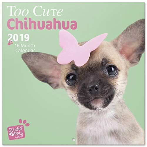 Gadget sui Chihuahua Di Tutto