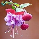 20 pc / sacchetto Abutilon striato Semi Diy Piante in vaso casa coperta di semi / Outdoor Mini Bonsai per giardino balcone Beautify delle piante