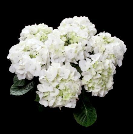 Deux couleurs Rouge Blanc univalve Géranium Graines Graines de fleurs vivaces Pelargonium peltatum Semences pour 100 graines Pièces d'intérieur/Sac 9