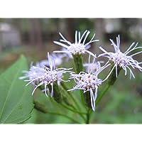 PLAT FIRM Germinación de las semillas: Hierba de los sueños Seed Pods muy raras (Calea zacatechichi) de 500 semillas frescas de la herencia