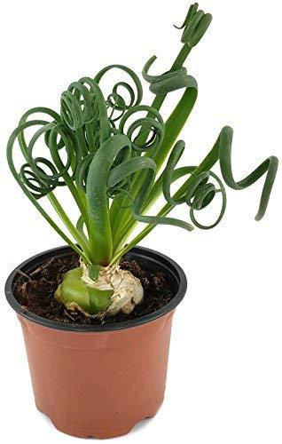 Albuca Spiralis - das trendige Zwiebelgewächs - Frizzle Dizzle eine sehr schöne Dekoration in ihrer Wohnung - Zimmerpflanze mit korkenzieher Blättern -