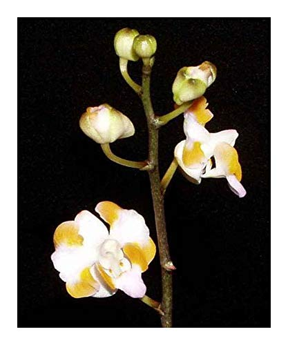 Doritis pulcherrima - orchidées - 100 graines