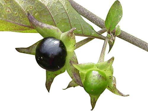 1000 Samen Tollkirsche (Atropa belladonna) Schwarze Tollkirsche -Hochkeimfähig-