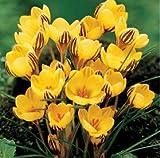 Zafferano Semi, semi di zafferano fiori, zafferano Crocus semi,...