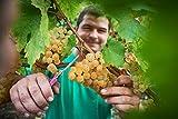 Vipava 1894 Weißwein Bag in Box 5 Liter Cuvee weiß – Sauvignon Rebula Weißwein in Box 5 Liter (5 l) - 4