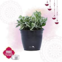 Nurturing Green Scindapsus (money plant/Pothos) Foliage plant for Indoors with Air Purifying ability in Black Hermes(plastic) Pot | FREE tea-light for Diwali