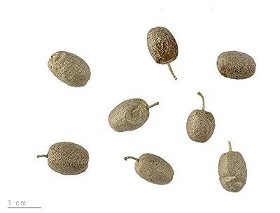 Russische Olive -Ölweide- 20 Samen -Essbar- Elaeagnus angustifolia
