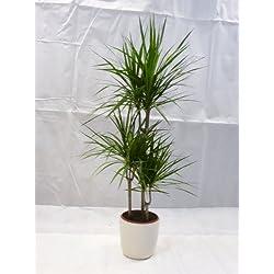[Palmenlager] - Dracaena marginata 150/160 cm - Drachenbaum 3er Tuff - // Zimmerpflanze