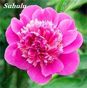 Nouveau! 10 Pcs Pivoine Graines Paeonia suffruticosa Andrews Mix Couleurs Indoor Bonsai fleur pour jardin des plantes Pivoine Graines de fleurs 5