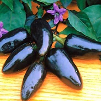 10 Samen von seltenen Black Plum Chili Pepper!