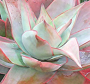 Pets Delite® 20 x Coral Aloe, Aloe striata Samen - Excellent FÜR Indoor Home & TREIBHAUS - Wichtige Quelle für Lebensmittel für Sunbirds - Von MySeeds. Co