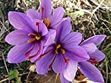 #10: Azalea Gardens Kashmiri Saffron Flower Bulbs (Pack Of 2 Bulbs)